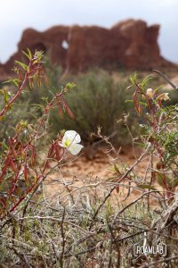 It's spring in Arches. Even in a place with such limited water, flowers still grace the land.