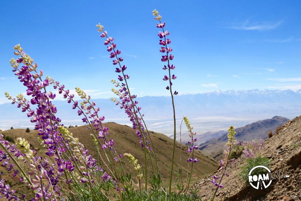 Lupin cover the slopes of Cerro Gordo and fill the air with a floral scent with Sierra Nevada Mountain Range rising in the background.