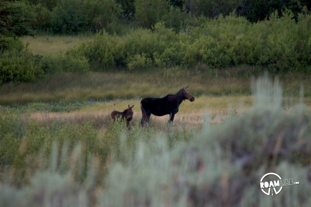 Moose mother and calf wandering along the marsh below Blacktail Ponds Overlook