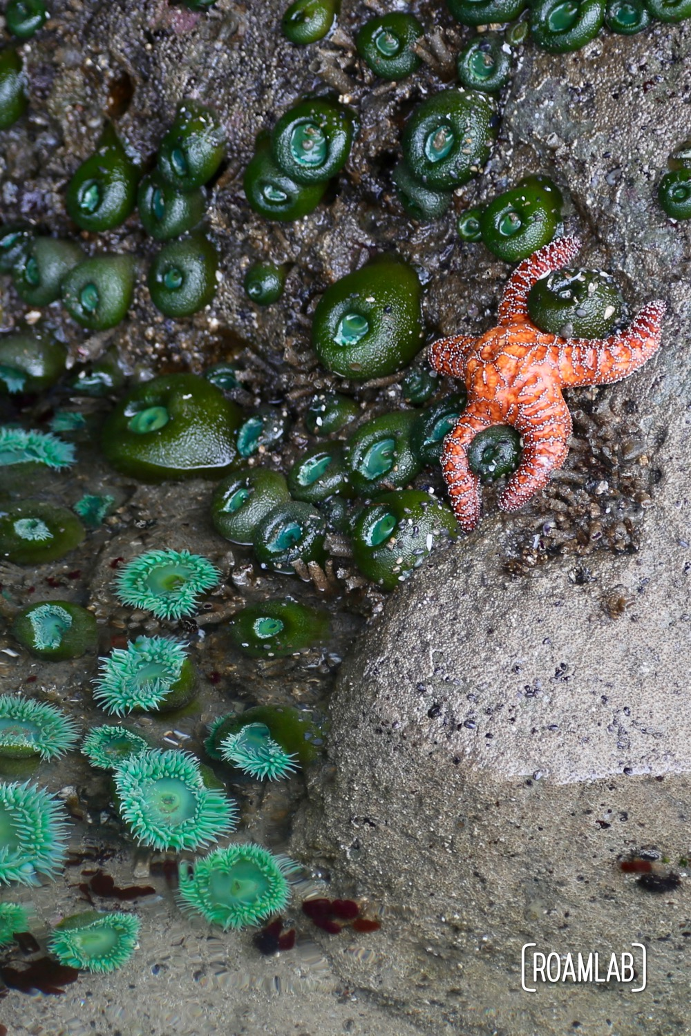Starfish settled just above the tideline, delineated by open sea anemones below the water and closed anemones above.