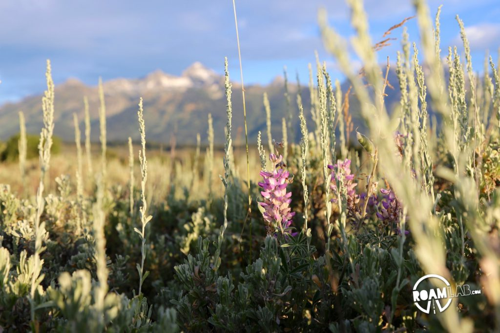 Everything looks so fresh in the morning. These wildflowers are set against the rising beauty of the Tetons.
