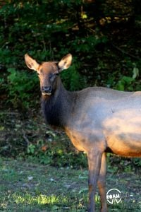 Elk pausing along the roadside for a morning snack in the Great Smoky Mountains National Park