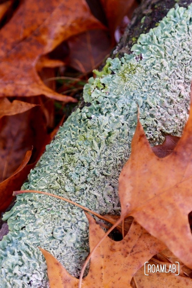 Fall leaves and a log covered in lichen