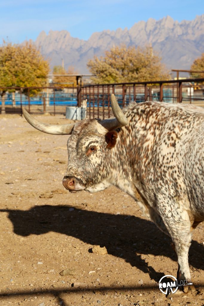 Will zipping through New Mexico, we took a detour to visit the This long horn bull is one of many notable varieties housed at the New Mexico Farm and Ranch Heritage Museum where we enjoyed displays on the history of farming as were as a large collection of livestock.