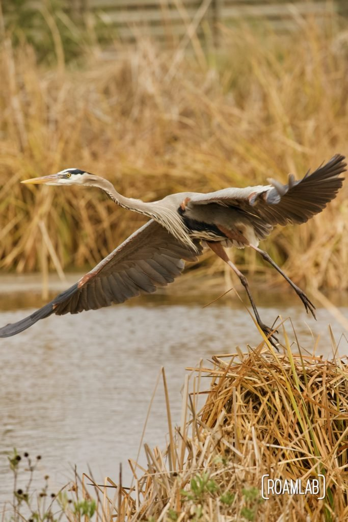 Great blue heron (Ardea herodias) taking wing out of a march at the South Padre Island Birding and Nature Center