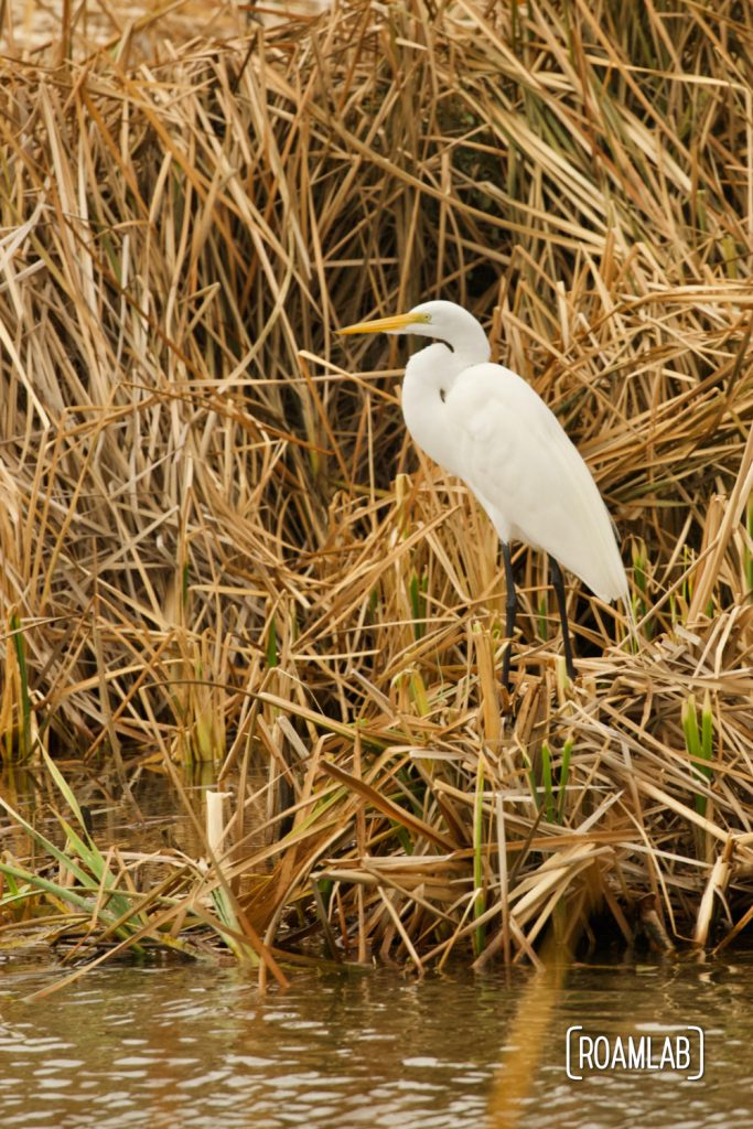 Great egret (Ardea alba) standing among the reeds at the South Padre Island Birding and Nature Center