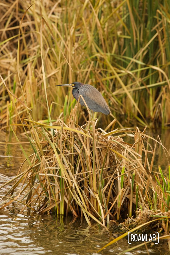 Tricolored heron (Egretta tricolor) standing on a patch of reeds at the South Padre Island Birding and Nature Center