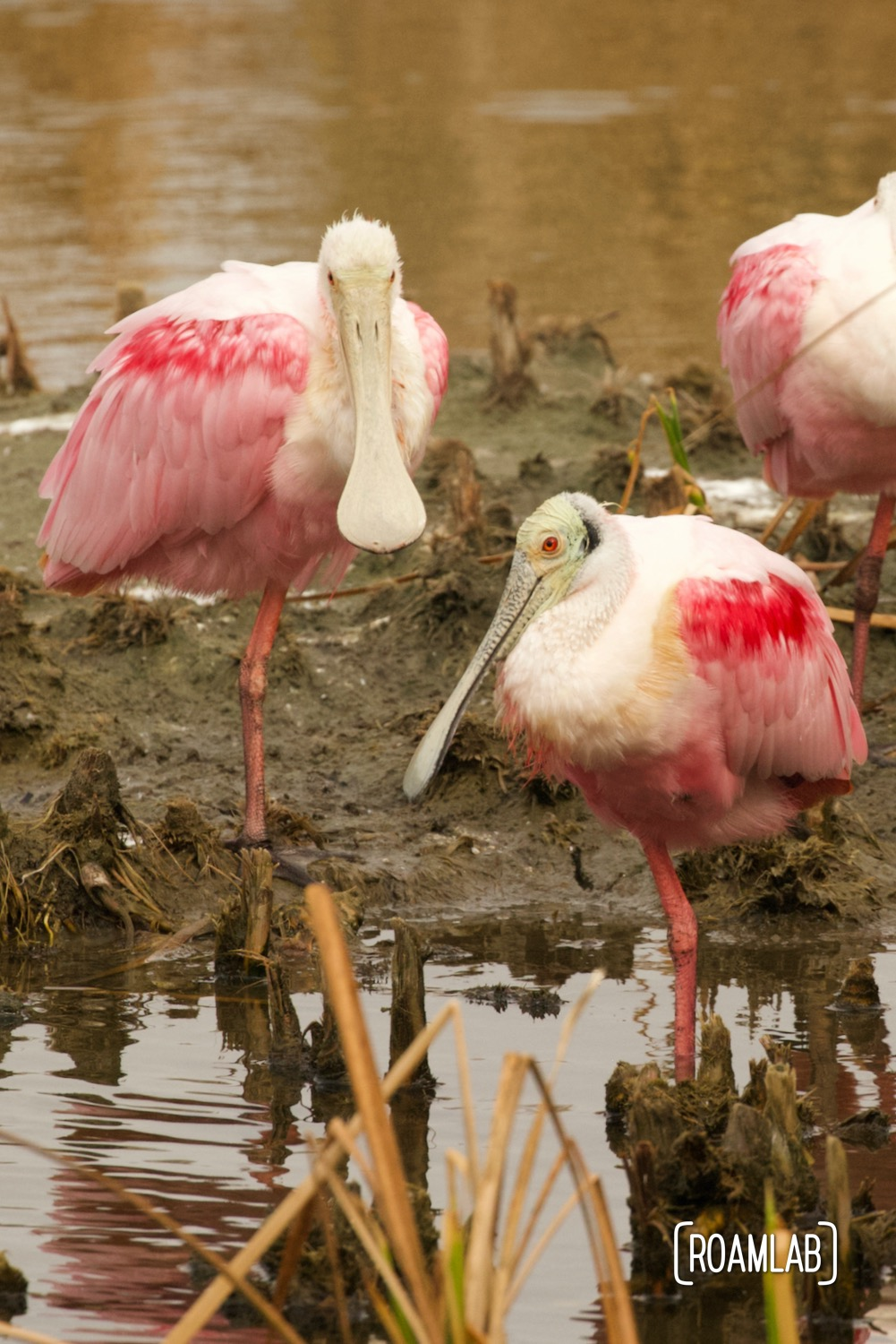 Roseate spoonbill (Platalea ajaja) congregatnig on a patch of mud at the South Padre Island Birding and Nature Center