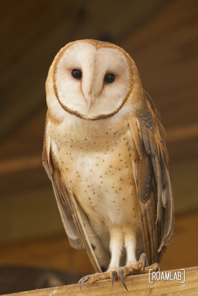 Barn owl (Tyto alba) standing on a perch. One of the few caged birds at the South Padre Island Birding and Nature Center