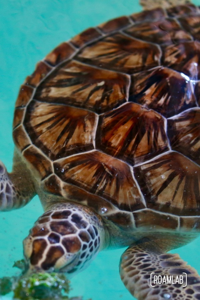 "Sea Turtles Inc. originates with Ila Fox Loetscher, the ""Turtle Lady of South Padre."""