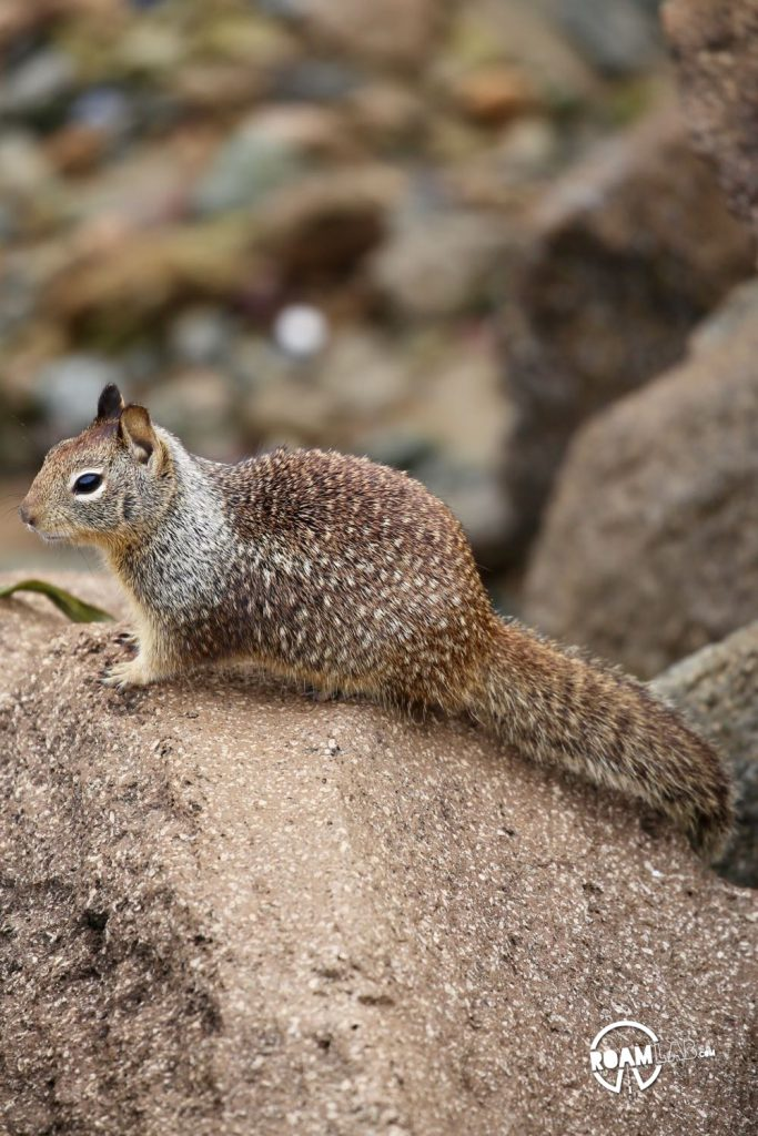 This ground squirrel in Morro Bay has its eyes on you.