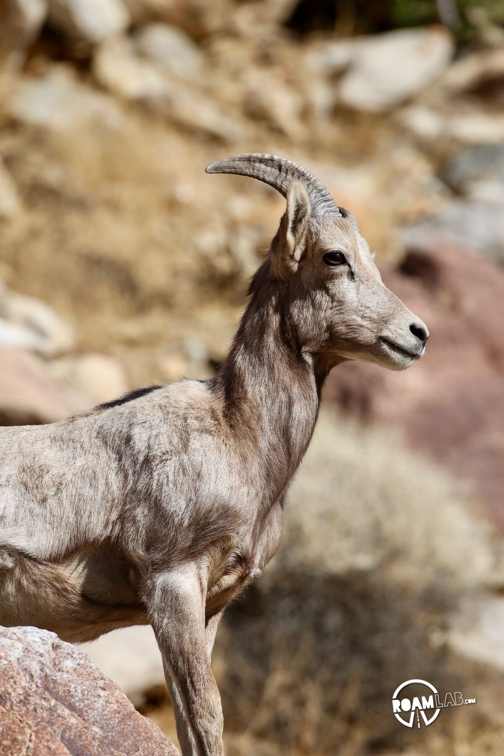 Portrait of a Big Horn Sheep along Borrego Palm Canyon Trail in Anza-Borrego Desert State Park