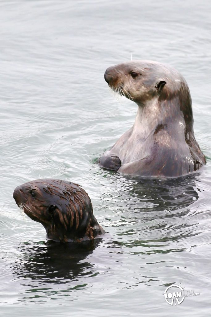 Mother sea otter and her pup in Morro Bay, California