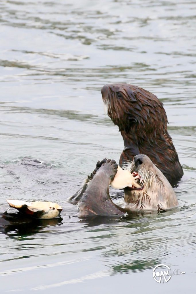 Mother sea otter fishes a clam out of Morro Bay. The pup is not so skilled.