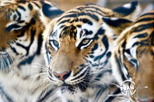 Tiger Adventures at Circus World in Baraboo, Wisconsin