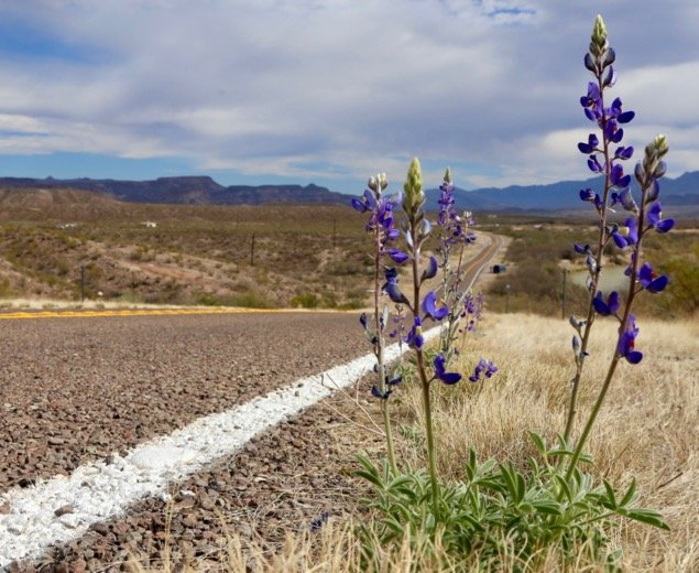 Wildflowers Along Route 170, Texas