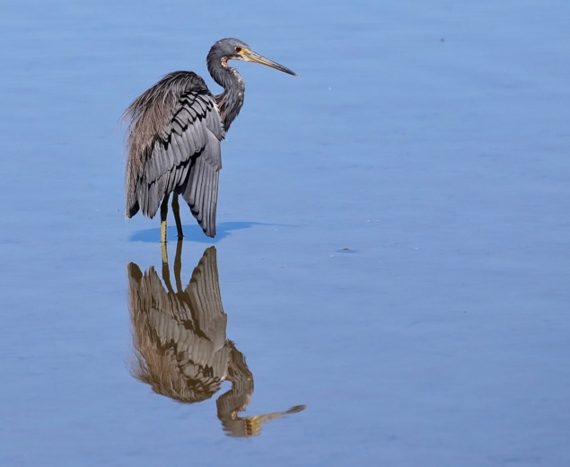 Reddish Egret on South Padre Island, Texas