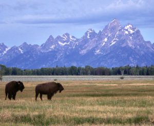Bison in Grand Teton National Park
