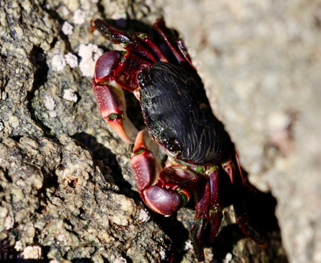 A Colorful Crab in Big Sur