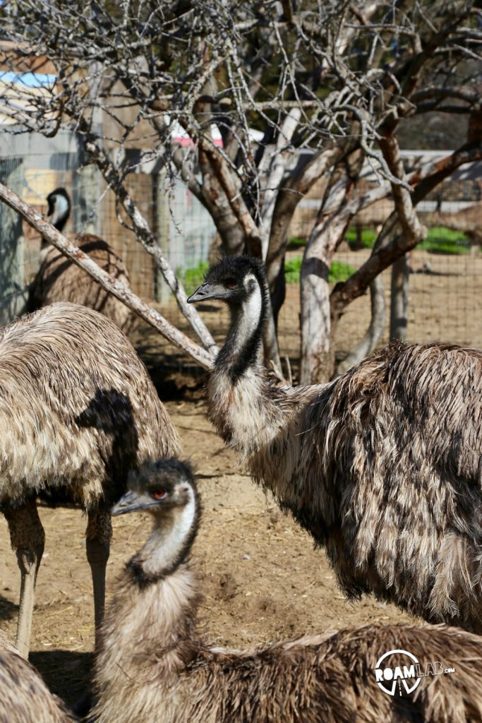 Feed ostriches & emus or buy an egg that can feed a family at the roadside attraction, OstrichLand USA in Solvang, California.