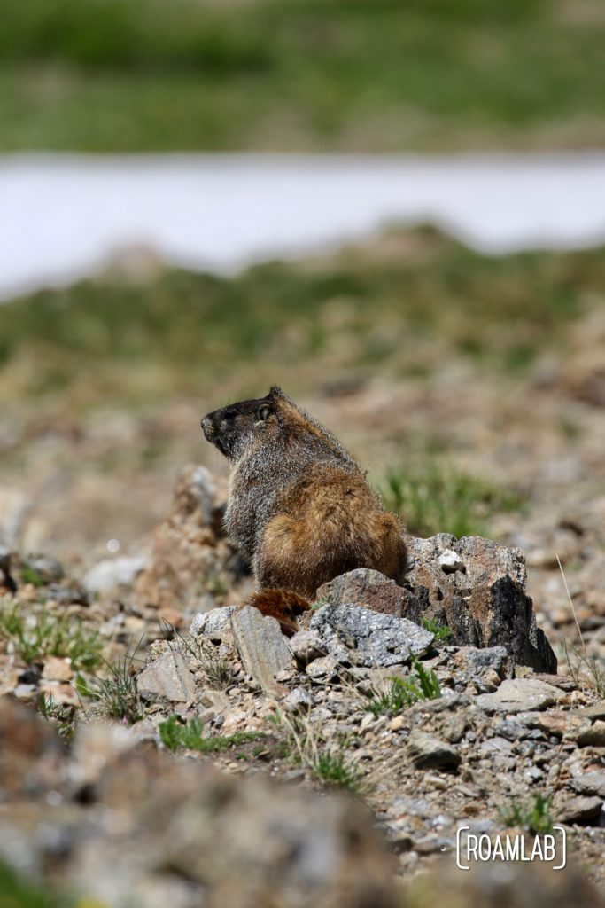 Yellow-Bellied Marmot along Old Fall River Road  in Rocky Mountains National Park