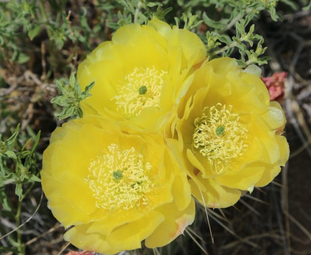 Cactus rose blooming in the Great Sand Dunes National Park