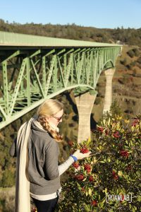 Woman inspecting a bush of red berries with the Foresthill Bridge in the background.
