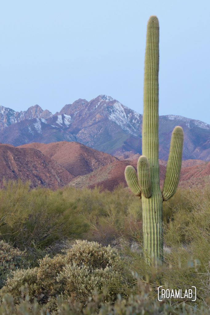 Saguaro with purple mountain in the background at Cholla Campground.