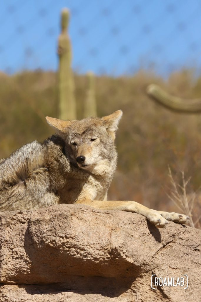 Coyote lounging on a rock with saguaro in the background at Arizona-Sonora Desert Museum