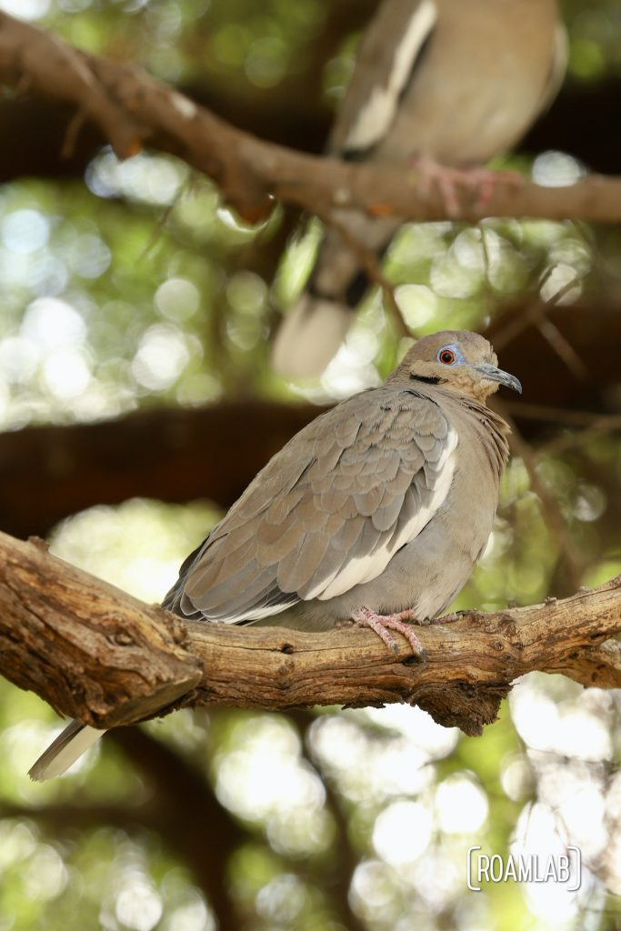 White-winged Dove on a tree branch at the Arizona-Sonora Desert Museum
