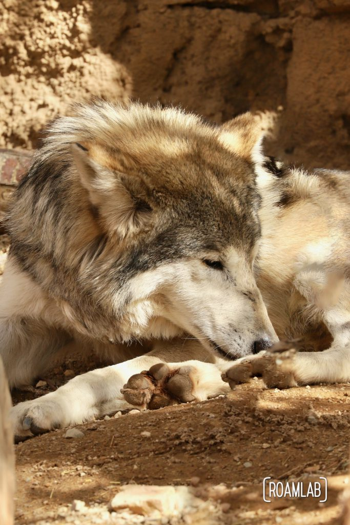 Mexican wolf reclining in the shade at the Arizona-Sonora Desert Museum