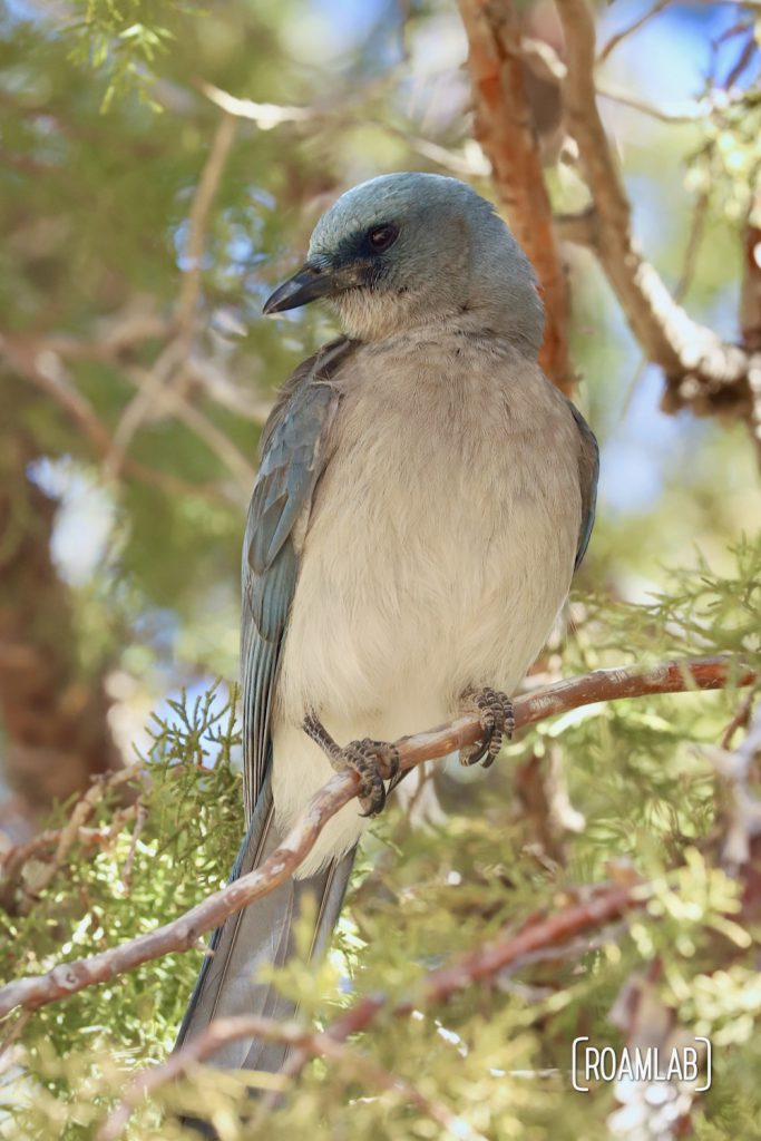 Mexican Jay sitting on a tree branch by the Silver Spur Meadow Trail