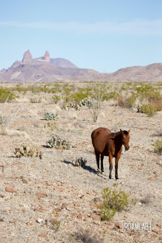 Brown horse standing in the desert with the Mule's Ears rock formation in the background in Big Bed National Park of south west Texas.