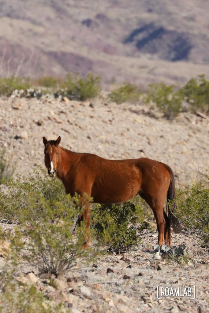 Brown horse looking into the camera while standing among the desert brush in Big Bend National Park, Texas.