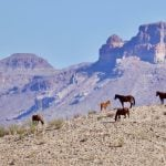 Five horses standing on a ridge line with mountains in the background in Big Bend National Park, Texas.