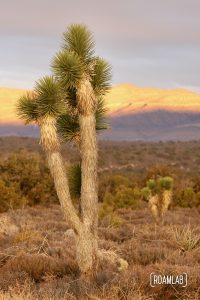 Two joshua trees in Lovell Canyon with the sunrise on the mountain side.