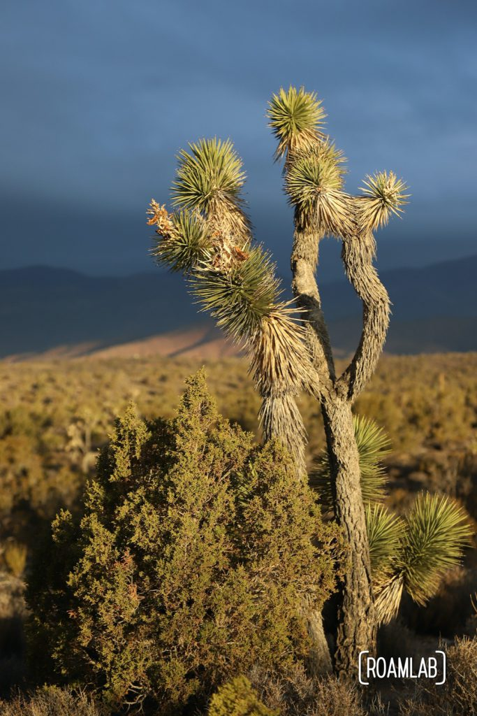 Joshua tree with a deep blue sky behind in Lovell Canyon, Nevada.