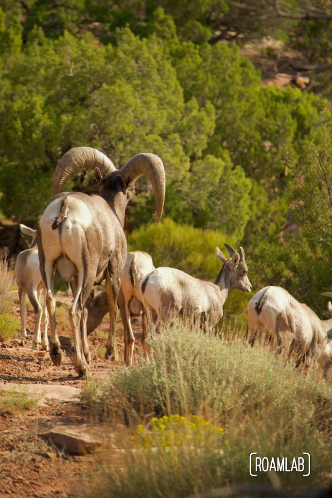 Herd of big horn sheep walking away into some scrub brush in Colorado National Monument.