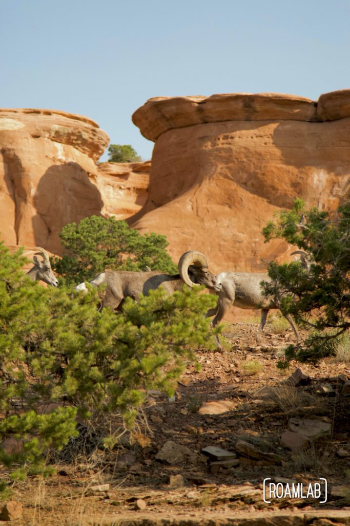 Big horn sheep walking in front of red rock formations in Colorado National Monument.